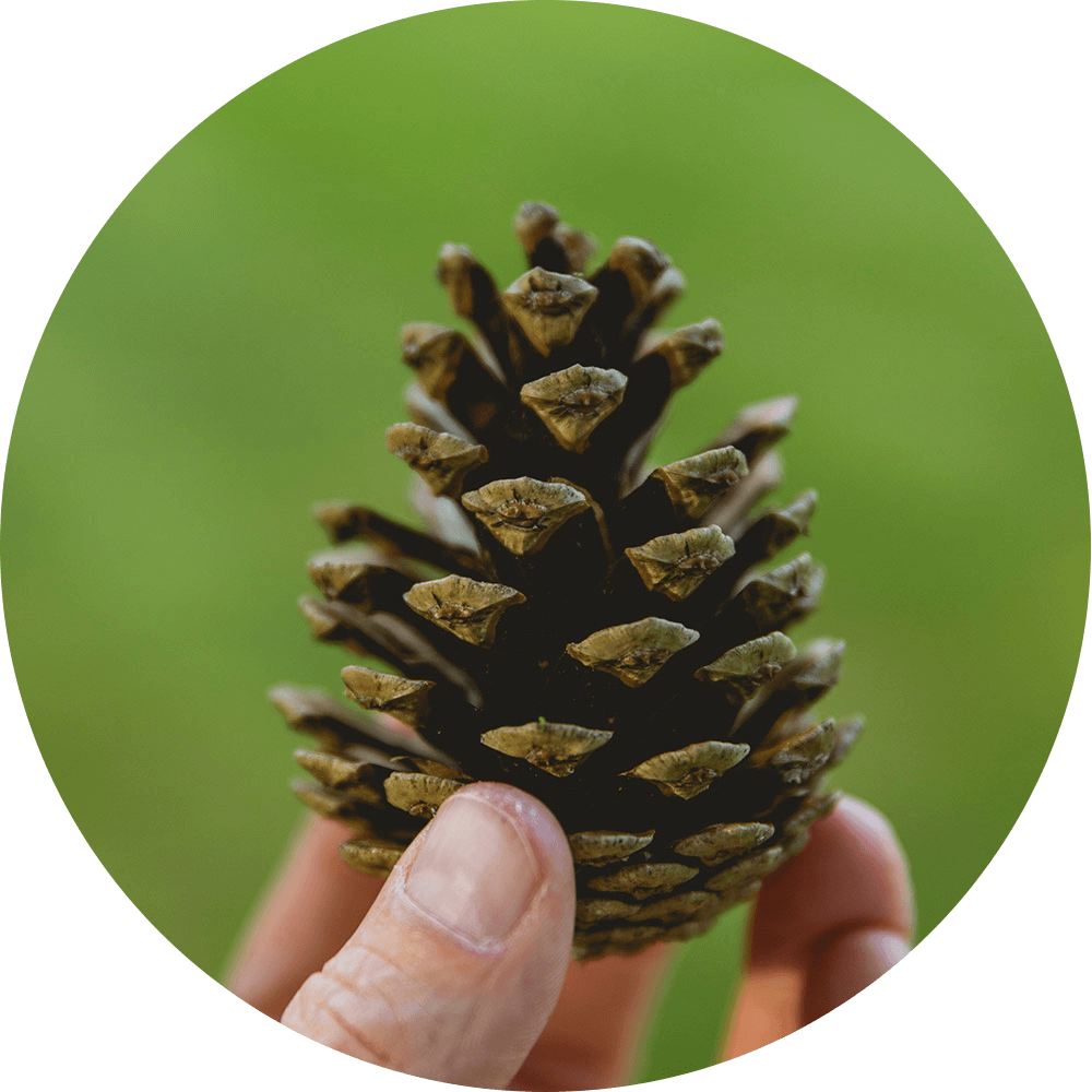 Pine cone in fingers